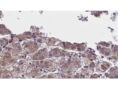 OR5AN1 Antibody