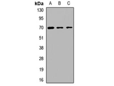 Anti-BS69 Antibody