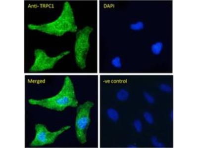 Goat anti-TRPC1 Antibody