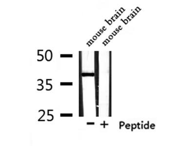 OR1L4/1L6 Antibody