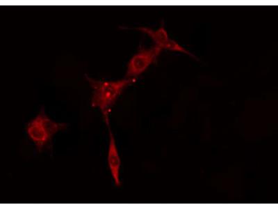 KAP2 Antibody