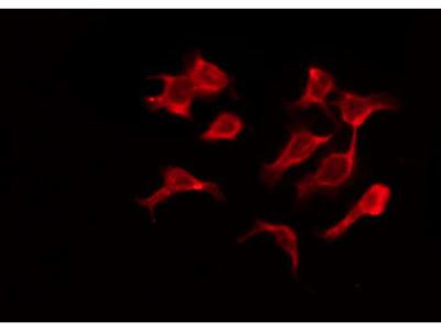 OR4A15 Antibody
