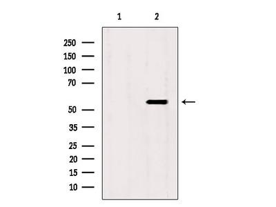 SKAP2 Antibody