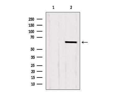 CKAP4 Antibody