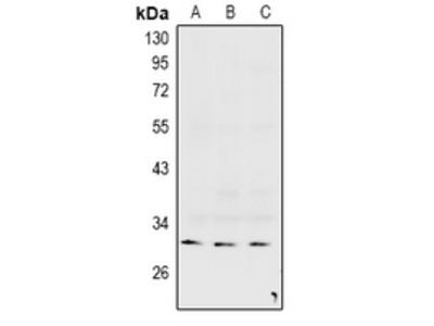 Anti-Connexin 31.3 Antibody