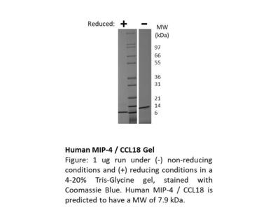 Human MIP-4 (CCL18)
