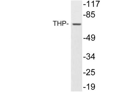THP Antibody