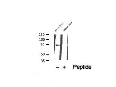 GPD2 Antibody