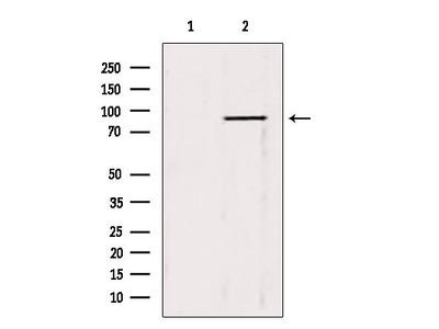 TRIM9 Antibody
