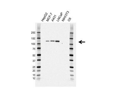 Mouse anti CD324 Antibody