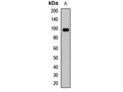Anti-NFAT1 Antibody