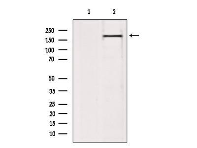BAZ2A Antibody