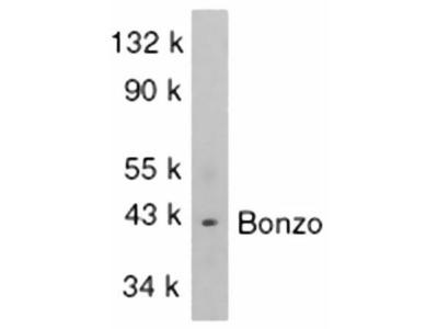 Anti-CXCR6 antibody