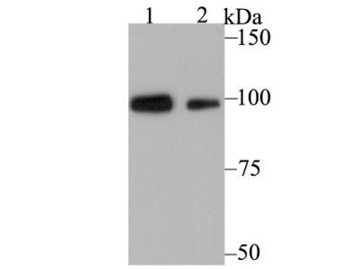 Glucocorticoid Receptor alpha Antibody (3F1)