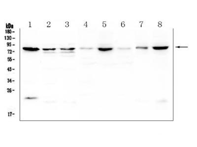 Anti-POMT2 Picoband Antibody