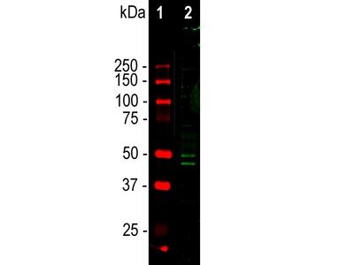Anti-FOX3/NeuN Rbfox3 Antibody