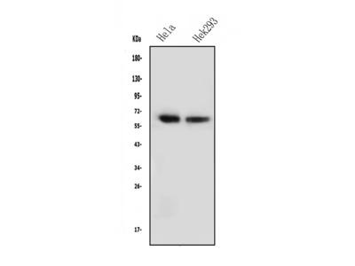 Anti-NFIA Picoband Antibody (monoclonal, 16H11)