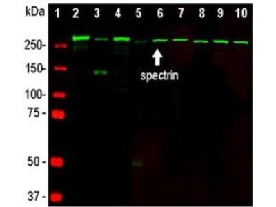 Anti- Alpha II-spectrin / Alpha-Fodrin / SPTAN1 Monoclonal Antibody