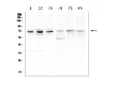 Anti-ARNTL2 Picoband Antibody