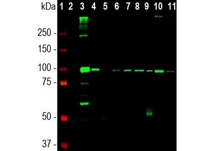 Anti-ALDH1L1 Monoclonal Antibody
