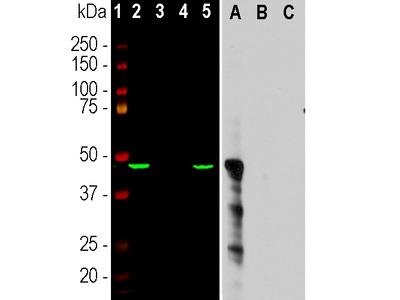 Anti-Aurora A Kinase Monoclonal Antibody