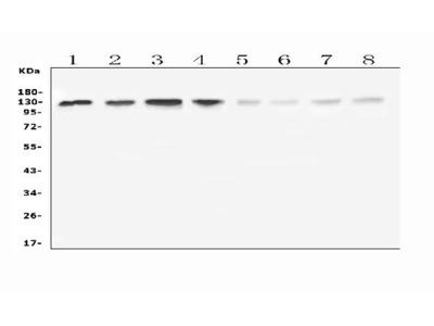 Anti-Leucyl tRNA synthetase /LARS Picoband Antibody