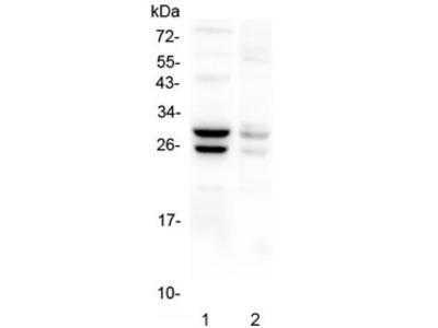 COMT Antibody
