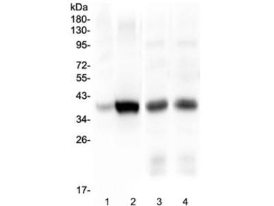 Thrombopoietin Antibody / THPO