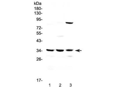 Bikunin Antibody / AMBP