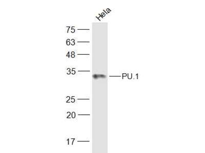 PU.1/Spi1 Polyclonal Antibody, Biotin Conjugated