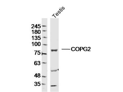 COPG1/2 Polyclonal Antibody, Biotin Conjugated
