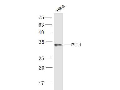PU.1/Spi1 Polyclonal Antibody