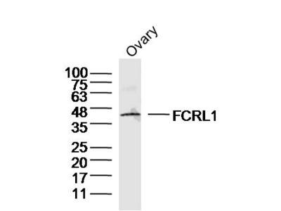 FCRL1 Polyclonal Antibody