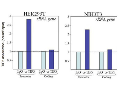 TIP5 Polyclonal Antibody