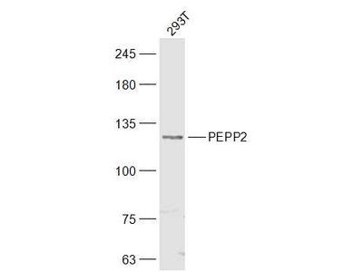 PEPP2 Polyclonal Antibody, HRP Conjugated