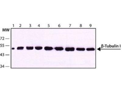 Anti-beta Tubulin I antibody [SAP.4G5]