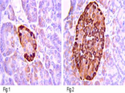 Anti-Insulin, clone CE9H9