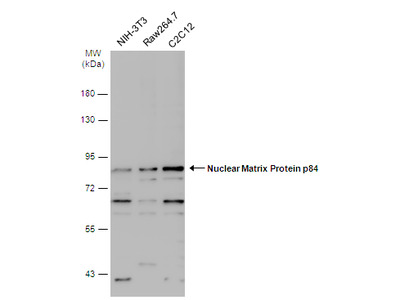 Anti-Nuclear Matrix Protein p84 antibody