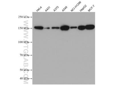 CFTR Antibody (2F4A8)