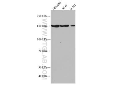 GLI1 Antibody (1D2B2)