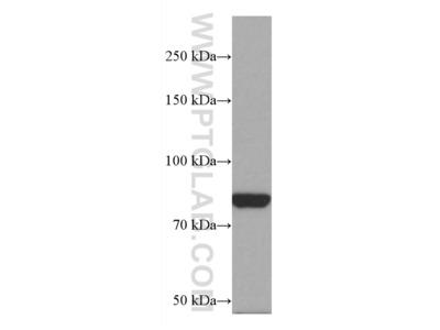 PAK7 Monoclonal Antibody