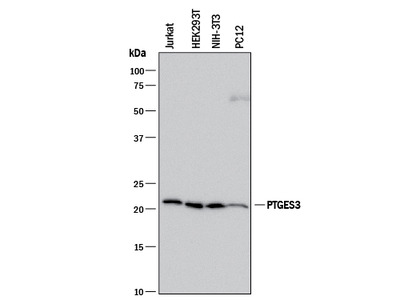 p23 /PTGES3 Antibody