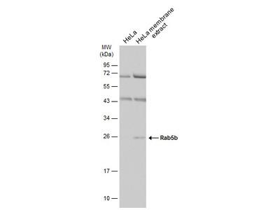 Anti-Rab5b antibody