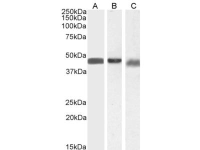 Anti-Beta Arrestin 2 antibody, Internal