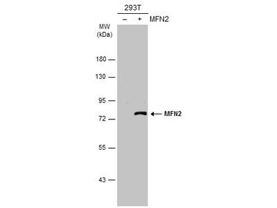 Anti-MFN2 antibody [N1N2], N-term
