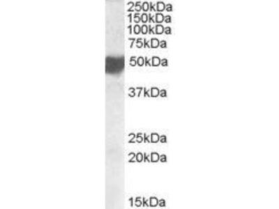 Anti-CLMP antibody, C-term