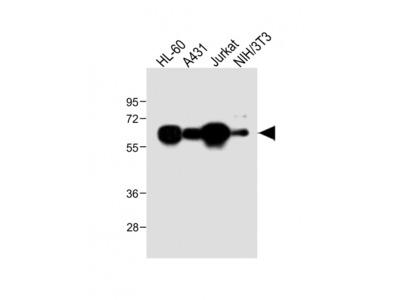METTL14 Antibody