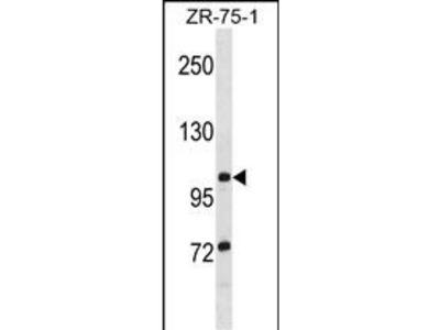 TTLL8 Antibody
