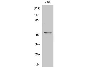 Anti-mAChR M4 Antibody