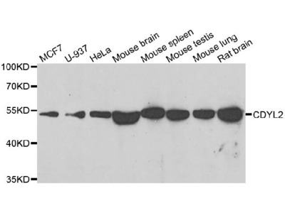 Anti-Chromodomain Y-like protein 2 CDYL2 Antibody